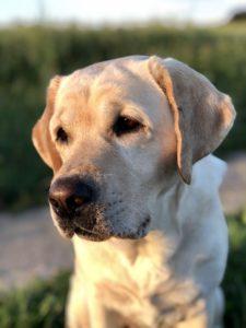 """gelbe Labrador-Hündin """"Emma"""""""